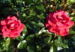 Rose Grande Classe Adharman mit Wahnsinnsduft
