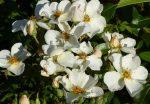 Rose Kew Garden, ebenfalls mit schönem Duft