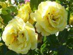 Rose Lichtkönigin, wer hat's geahnt - sie duftet :-)