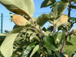 Früchte wie mit Samt überzogen, hfftl bleiben sie dran