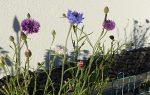 Kornblumen mit Schattenwurf
