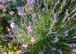 Lavendel mit Nelke