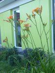 ziemlich hohe Taglilie, blüht leider nur 4 Wochen